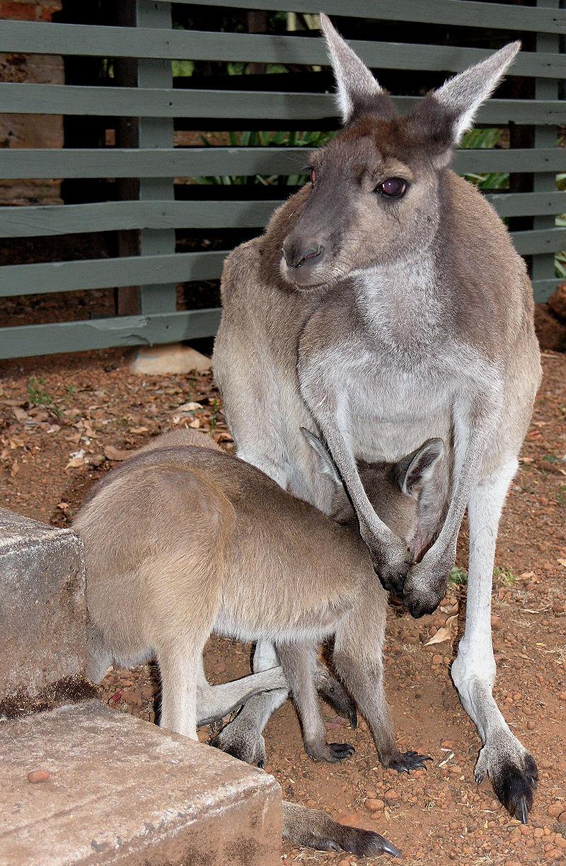 kengura-tmavochvosta