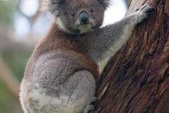 koala-medvedikovita