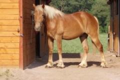 belgicky kon