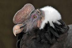 kondor-velky