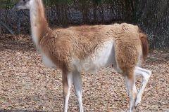 lama-guanako