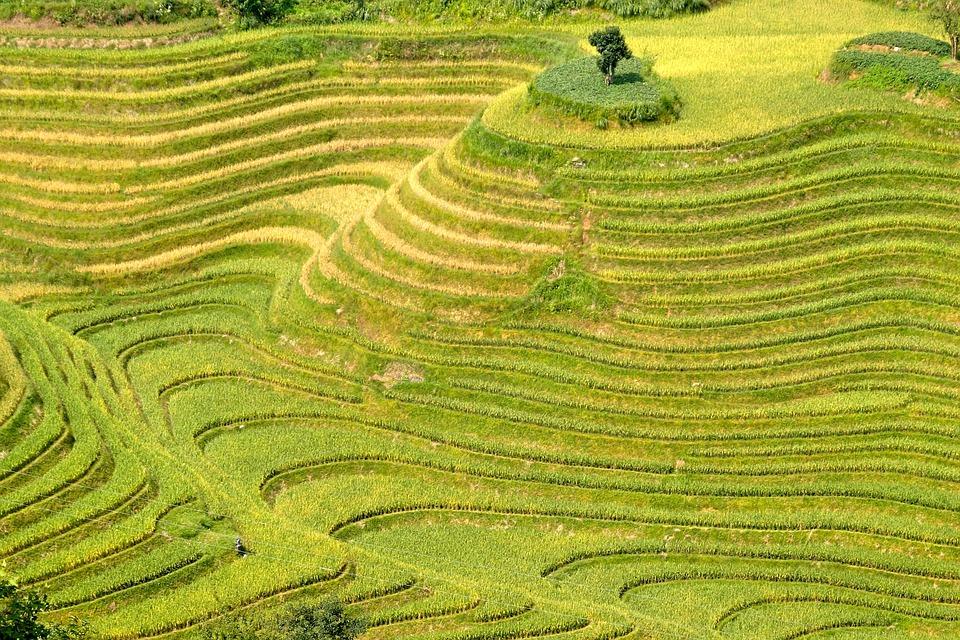 ryzove plantaze