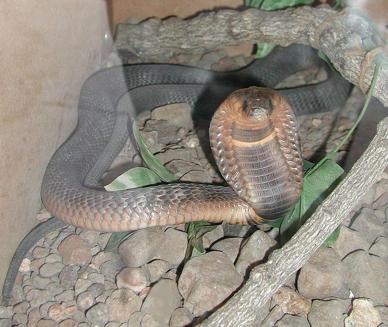 kobra aspis