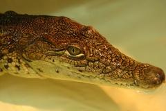 krokodil nilsky