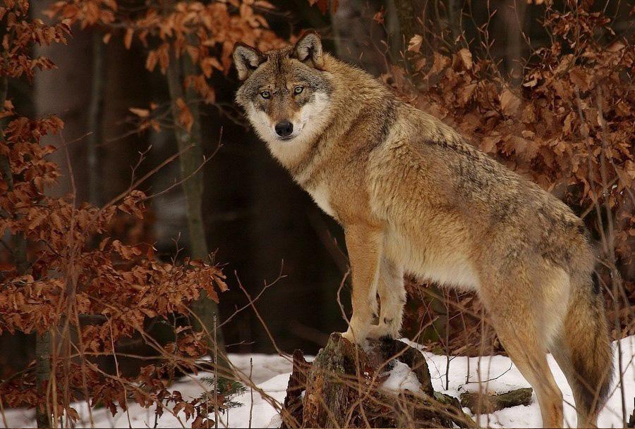 vlk dravy