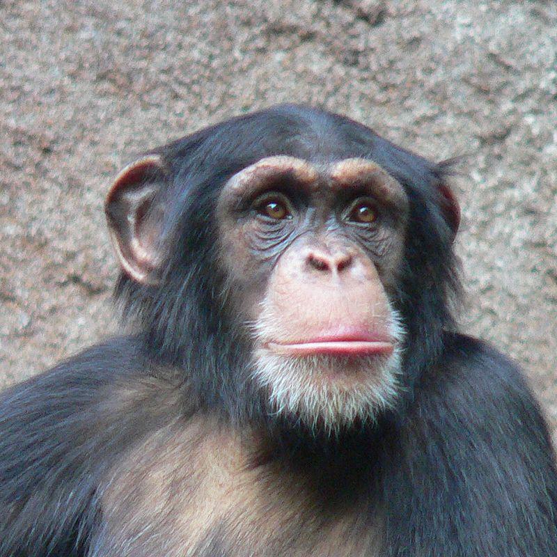 simpanz ucenlivy