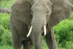 slon africky