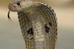 kobra okuliarnata