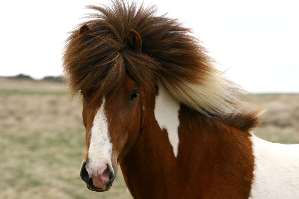 islandsky kon