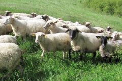 chov oviec