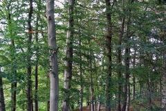 buk lesny