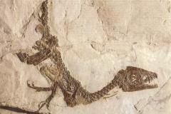 skamenelina dinosaura pust gobi