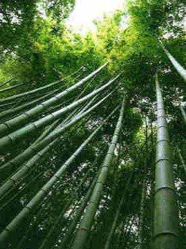 bambusovnik