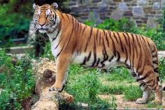 tiger dzunglovy