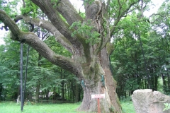 dub bartek 600 rokov