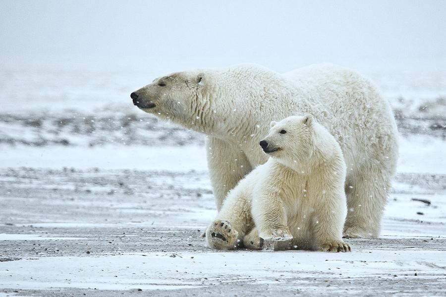 medved biely