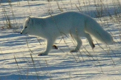 liska polarna