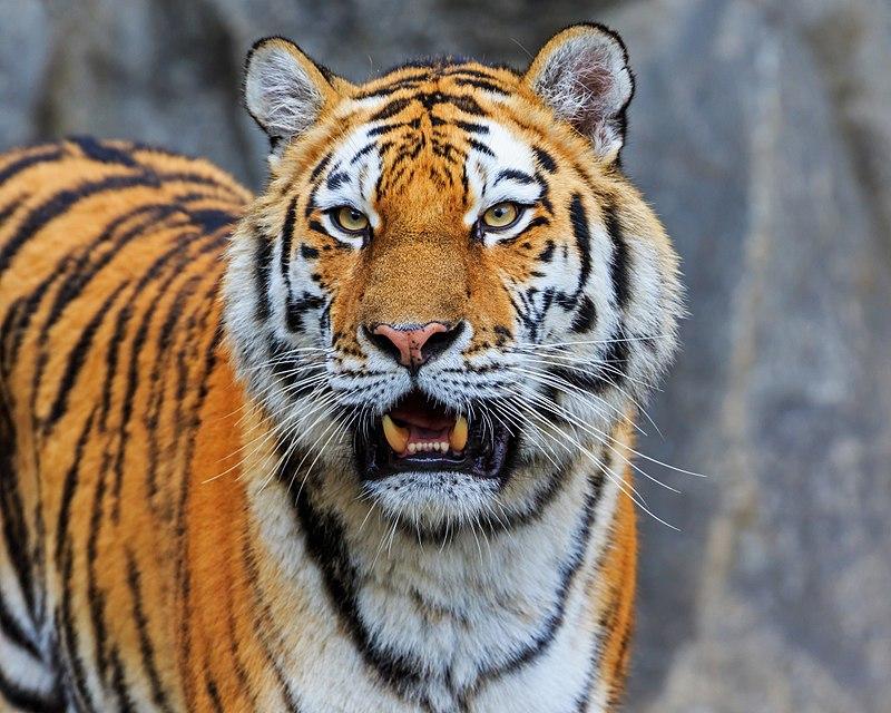 tiger sibirsky