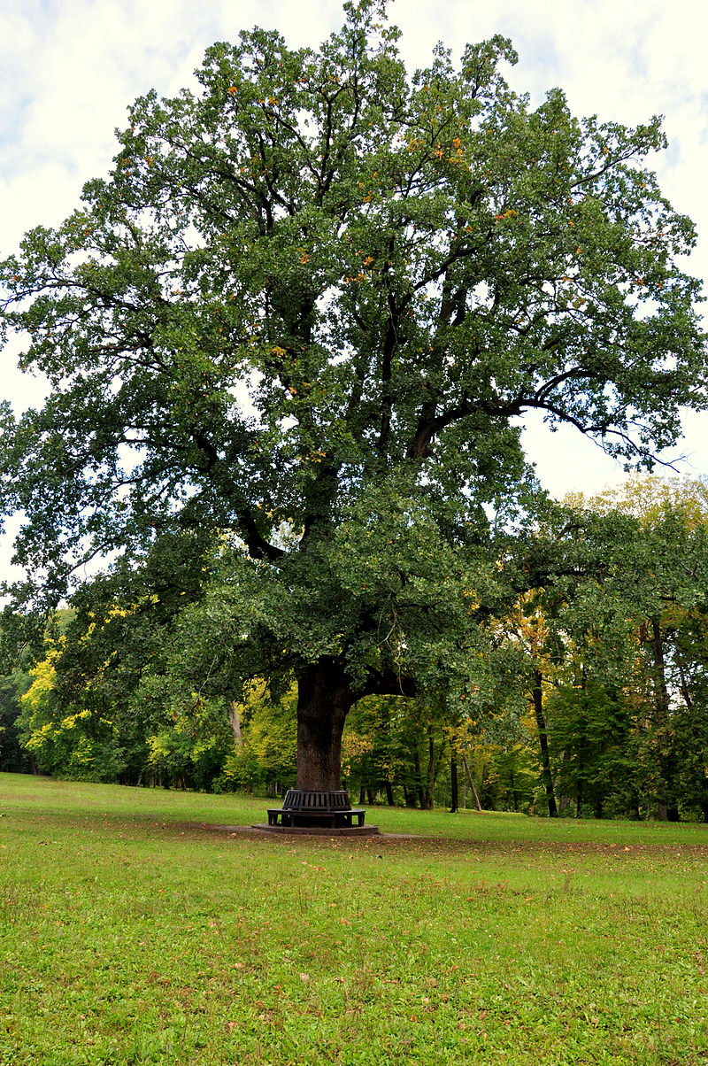 dub maksyna zalizniaka 1000 rokov