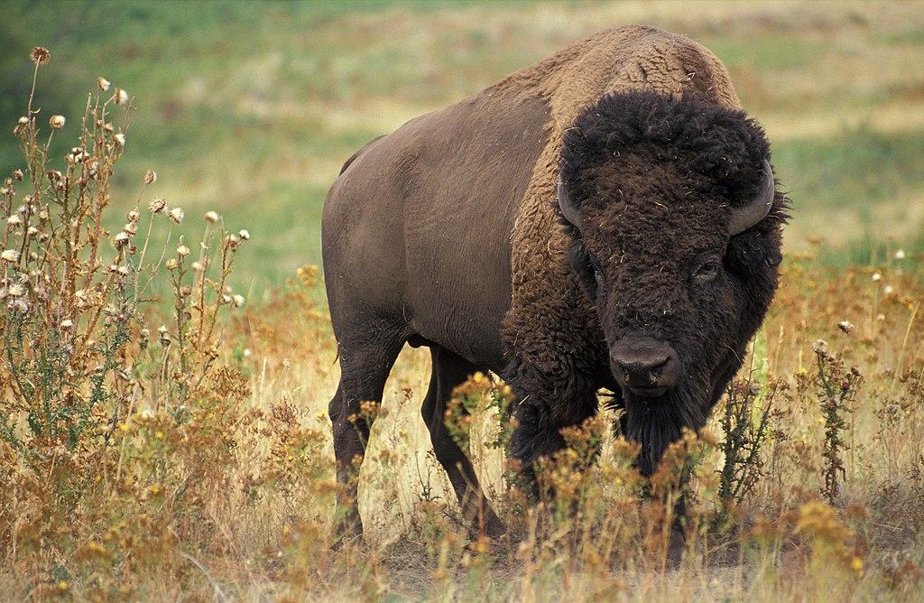 zubor-americky-bizon